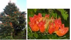 pohon Kiacret dan bunga