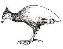 burung gosong
