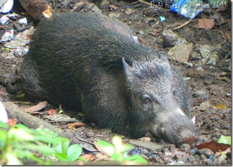 Babi Hutan - Sancang 2011