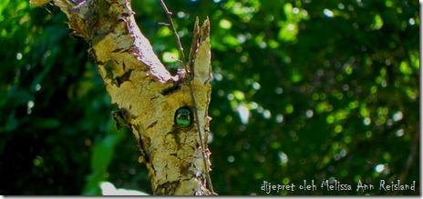 Takur Tenggeret (Megalaima australis)
