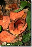 Rafflesia patma-sancang