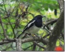 burung balaikota (107)