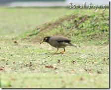 burung balaikota (38)