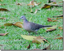 burung balaikota (5)