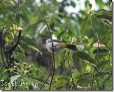 burung balaikota (83)