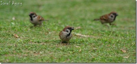 burung balaikota (88)