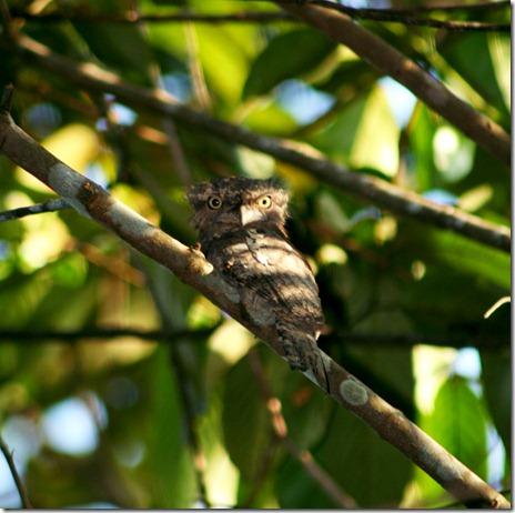 frogmouth (paruh-kodok)