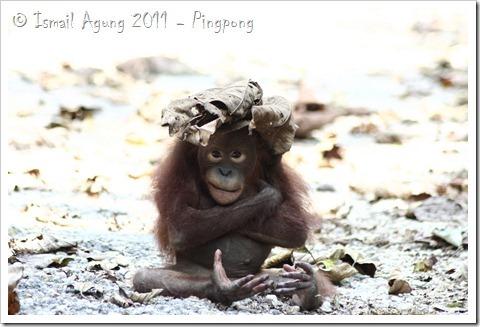 orangutan 059_thumb[17]