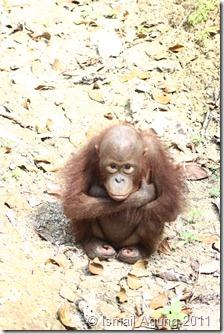 orangutan 051