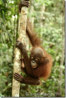 orangutan 098