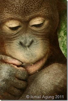 orangutan 110
