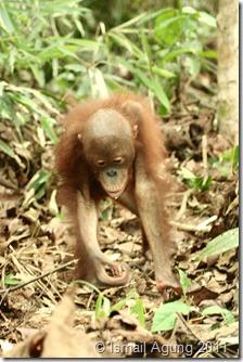 orangutan 122