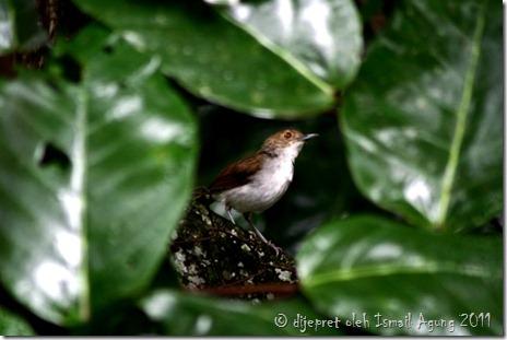 burung indonesia « U n g ' s