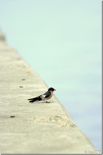 burung layang layang