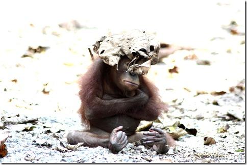 orangutan 061