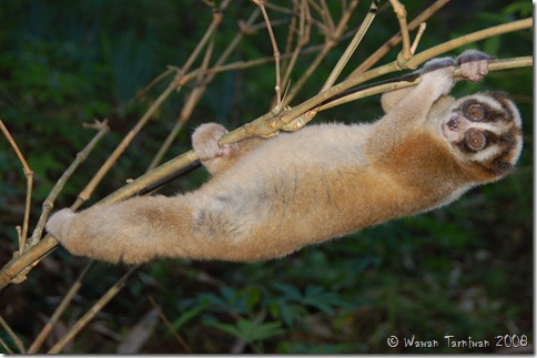 the javan slow loris conservation program