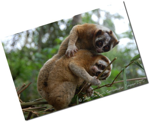 the javan slow loris conservation program
