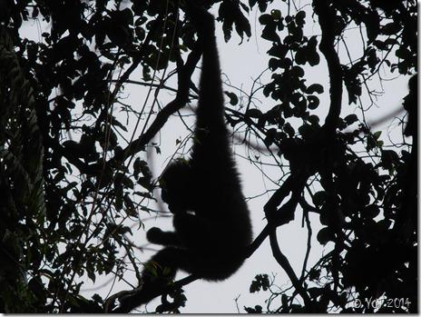gibbon-feeding